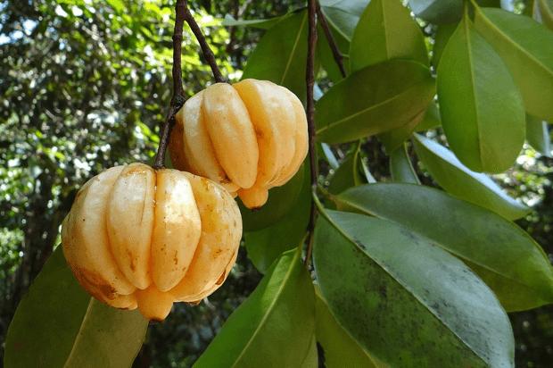 Where to buy garcinia cambogia fruit in houston tx